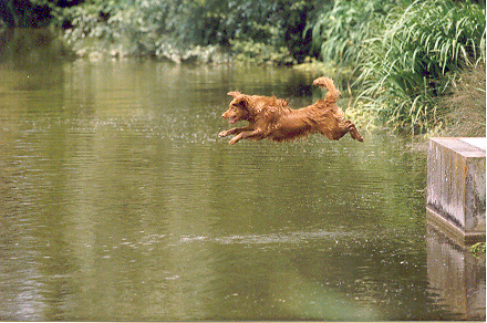 Kim 1 Nova Scotia Duck Tolling Retriever