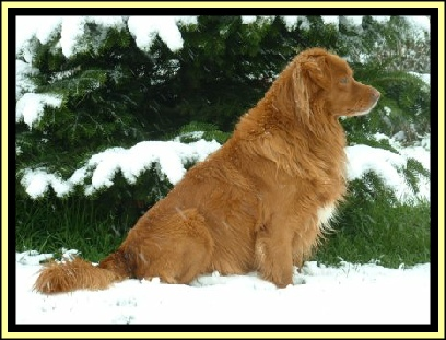 Polo Nova Scotia Duck Tolling Retriever