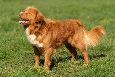 Nova Scotia Duck Tolling Retriever - Tag