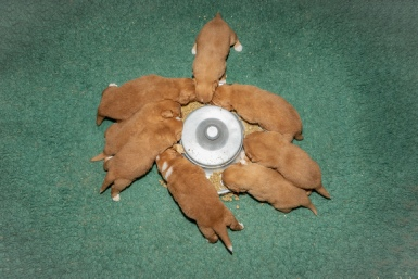 Nova Scotia Duck Tolling Retriever - Puppies