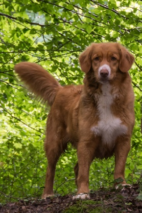 Nova Scotia Duck Tolling Retriever - Maisie