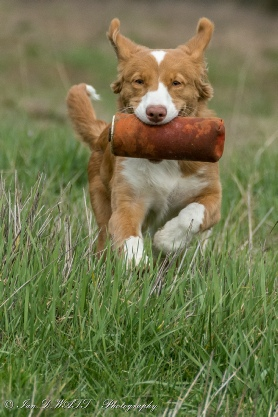 Nova Scotia Duck Tolling Retriever - Toffee