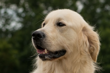 Golden Retriever - Ross